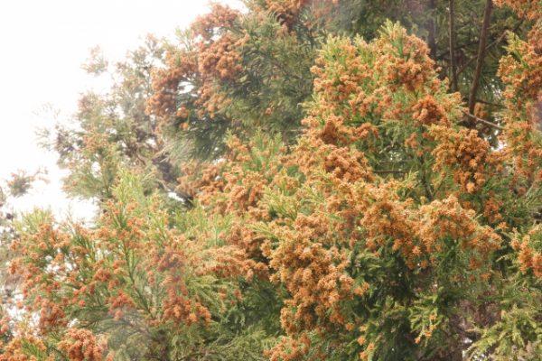 花粉症(季節性アレルギー性鼻炎)について